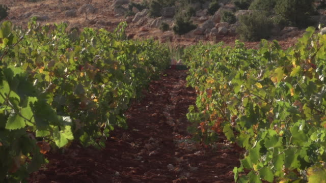 of vines planted in rows in a vineyard in the beqaa valley. - viniculture stock videos & royalty-free footage