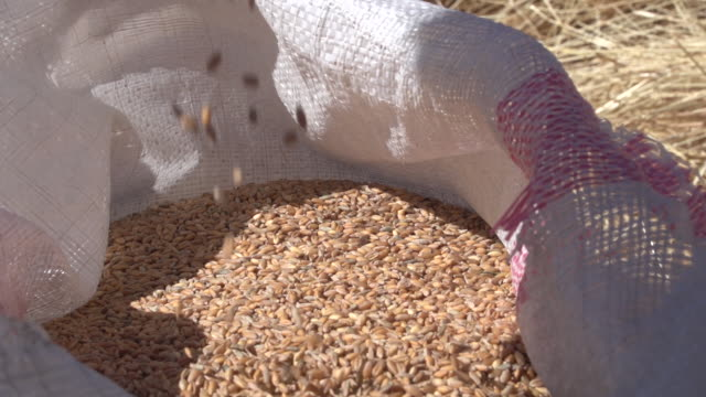 of wheat grain pouring out of a vintage belt-driven threshing machine. - wheat stock videos & royalty-free footage