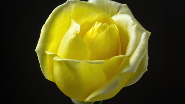 timelapse shot of yellow rose blossom in front of black background, 4k video. - composition stock videos & royalty-free footage