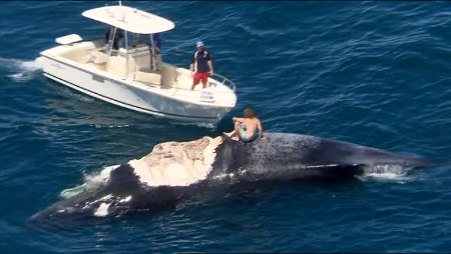 off rottnest island - a young man attempts the ultimate in thrillseeking - jumping onto a whale carcass that is surrounded by feeding sharks. rob... - whale stock videos & royalty-free footage