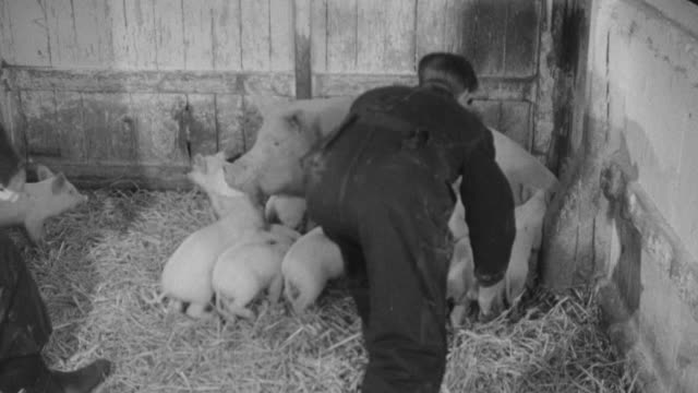 1955 montage officials preparing to kill a sow and piglets due to foot and mouth disease / united kingdom - foot and mouth disease stock videos & royalty-free footage