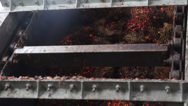 Oil palm fruit falls in to a chamber inside a processing facility at the Mong Reththy Investment Cambodia Oil Palm Co oil palm plantation a joint...