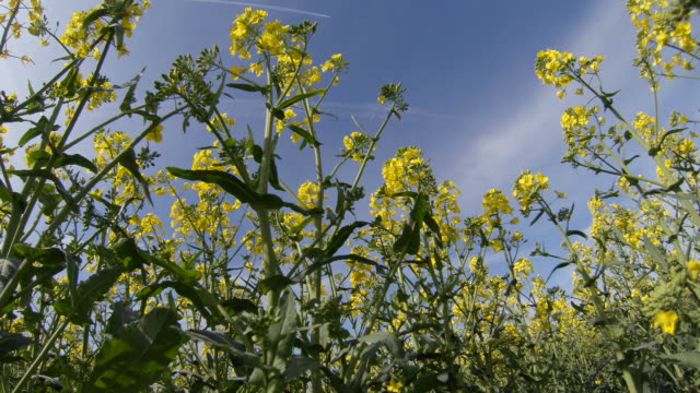 oil seed rape crop. - crucifers stock videos and b-roll footage
