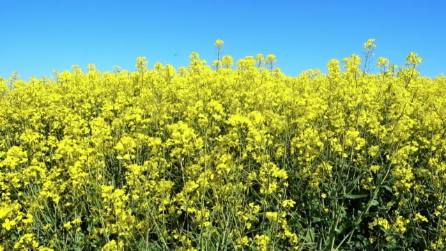 oilseed rape 4k - canola stock videos and b-roll footage