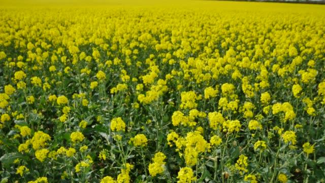 oilseed rape - brassica napus - crop growing in a field in bedfordshire england uk - crucifers stock-videos und b-roll-filmmaterial