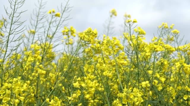 oilseed rape crop. - crucifers 個影片檔及 b 捲影像