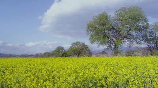 Oilseed rape field at Chikuma Riverside Park