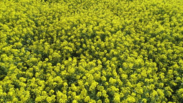 vídeos y material grabado en eventos de stock de oilseed rape field in bloom from above, moving forward. franconia, bavaria, germany. - escena rural
