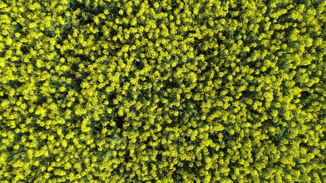 oilseed rape field in bloom from above, moving up. franconia, bavaria, germany. - natural pattern stock videos & royalty-free footage