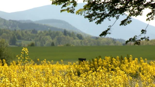 Oilseed rape in countryside