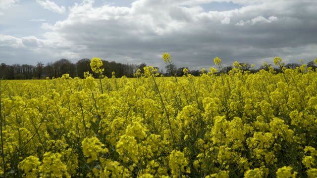oilseed rape in springtime with contrasting cloudy sky - crucifers video stock e b–roll