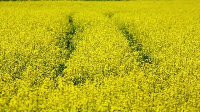 oilseed rape - crucifers stock videos & royalty-free footage