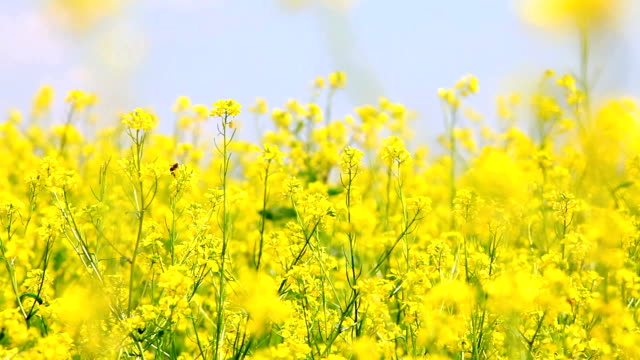 oilseed rape - canola stock videos and b-roll footage