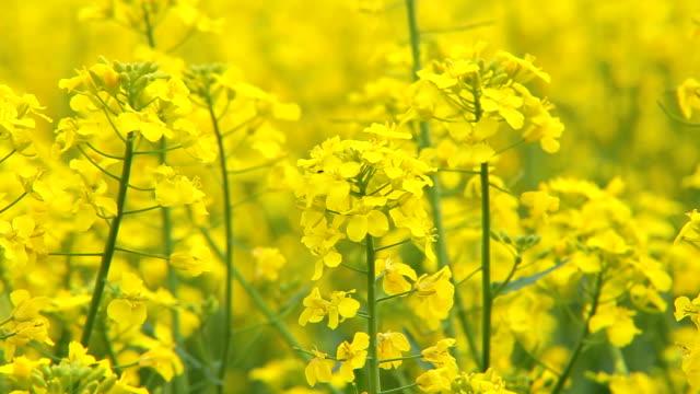 oilseed rape - brassica rapa stock videos & royalty-free footage