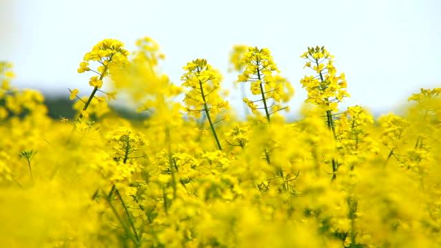 oilseed rape - crucifers 個影片檔及 b 捲影像