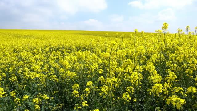 oilseed rape - oilseed rape stock videos & royalty-free footage