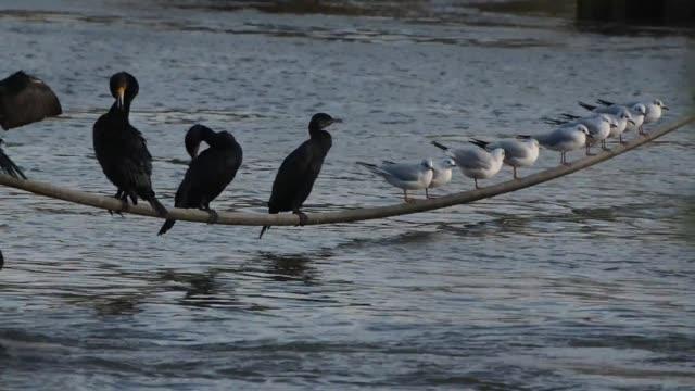 vidéos et rushes de oise river grand cormoran on december 13 2019 in pontoise france - bruno levesque
