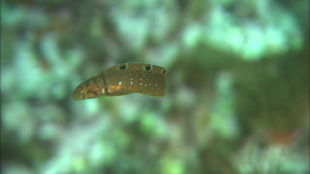 okikazunagi (opisthocentrus zonope)swimming among sea weeds in the sea of rishiri island - トラッキングショット点の映像素材/bロール