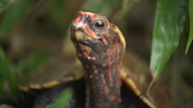 cu, okinawa black-breasted leaf turtle, okinawa, japan - animal shell stock videos & royalty-free footage