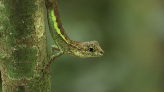 okinawa tree lizard at rest - okinawa prefecture stock videos & royalty-free footage