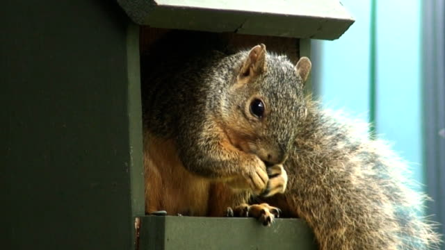 oklahoma squirrel - film feeder stock videos & royalty-free footage