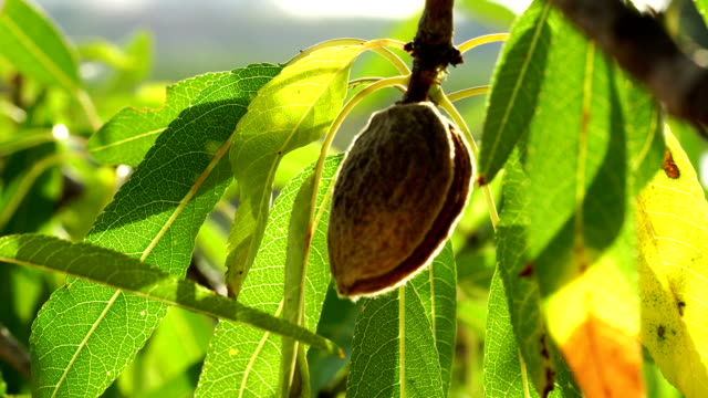 old almond in almond tree - almond stock videos and b-roll footage