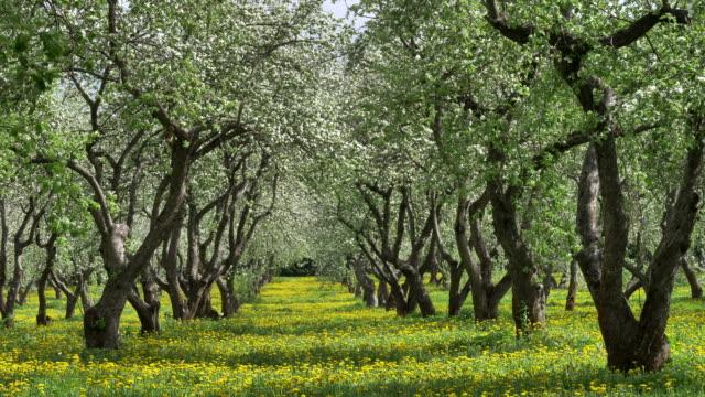 old apple orchard blooming in springtime. yellow dandelions between tree trunks. - apple tree stock videos & royalty-free footage