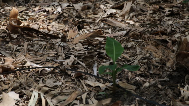 Old banana leaves can be seen on the ground as well as a very young banana tree