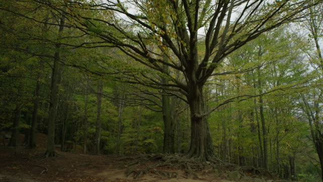 w/s old beech tree in a forest, autumn - beech tree stock videos and b-roll footage