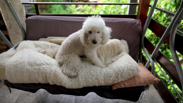 Old bichon frise relaxing on swing chair at balcony