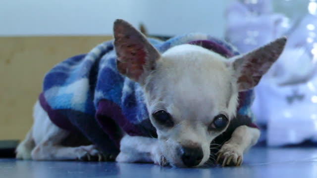 Old chihuahua resting on tile floor indoor