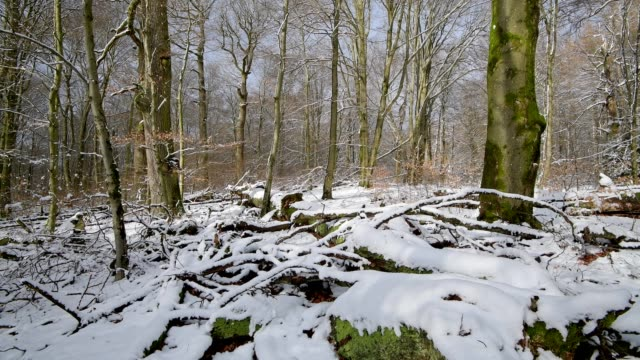 vídeos de stock, filmes e b-roll de old deciduous forest during snowfall in winter, forest reserve rohrberg, rohrbrunn, spessart, bavaria, germany, europe - árvore de folha caduca