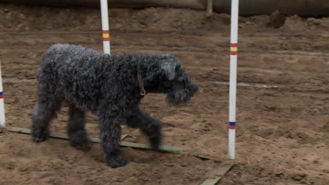 old dog walking around agility obstacles - agility stock videos & royalty-free footage