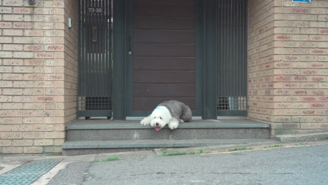 old english sheepdog lying down on the floor - sheepdog stock videos & royalty-free footage