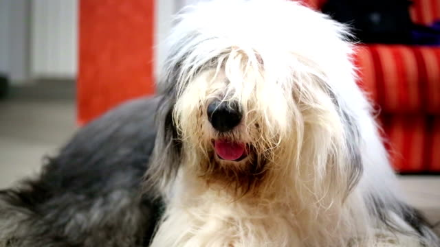 old english sheepdog - sheepdog stock videos & royalty-free footage