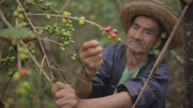 old farmer harvesting coffee seeds and looking at the camera - lavoratore agricolo video stock e b–roll