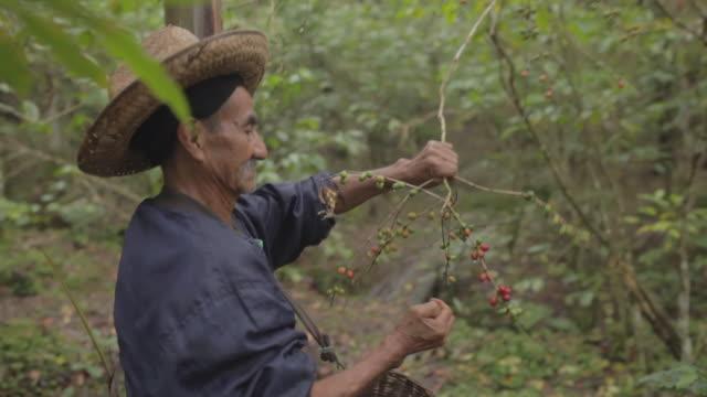 Old farmer harvesting coffee seeds