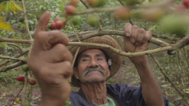 old farmer harvesting coffee seeds - harvesting点の映像素材/bロール
