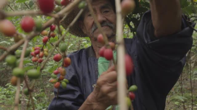 old farmer harvesting coffee seeds - chiapas stock-videos und b-roll-filmmaterial
