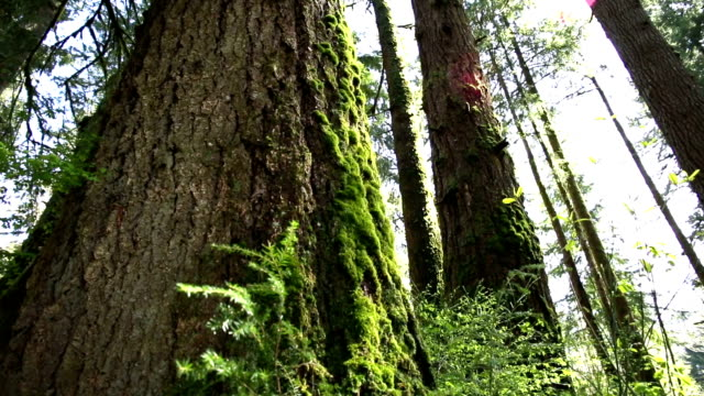 old forest - douglas fir stock videos and b-roll footage