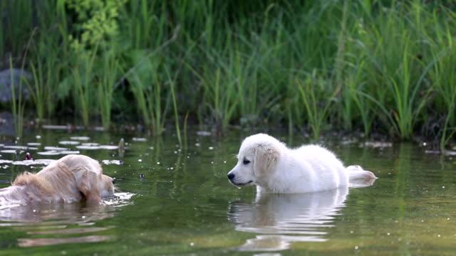 Old Golden Retriever zeigt ein Hundebaby, wie Schwimmen