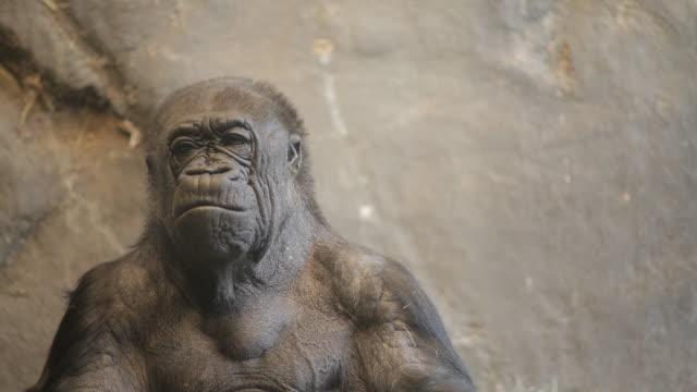 old gorilla in zoo exhibit - 動物園点の映像素材/bロール