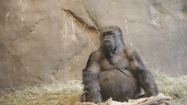 old gorilla making funny faces in zoo exhibit - 動物園点の映像素材/bロール