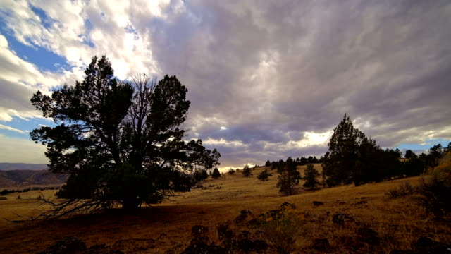 Old growth western juniper tree in field on ranch under clouds