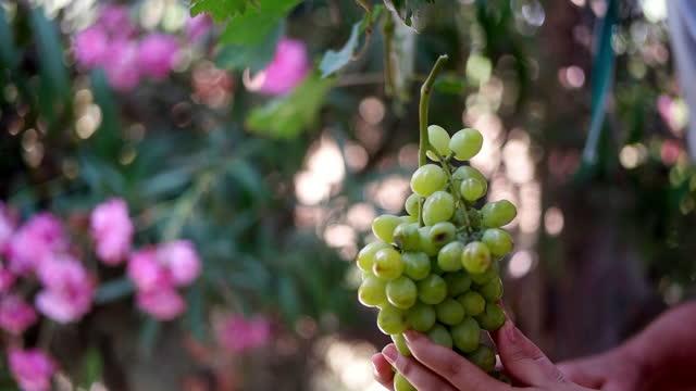 vídeos de stock e filmes b-roll de slo mo old hand cutting grape cluster at sunset - ramo parte de uma planta