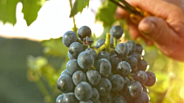 slo mo old hand cutting red grape cluster at sunset - solo un uomo anziano video stock e b–roll