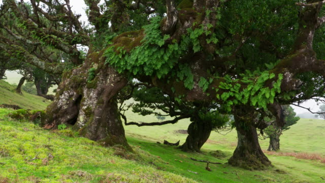 old laurel trees in fanal forest. atlantic islands, madeira, portugal. - alloro video stock e b–roll