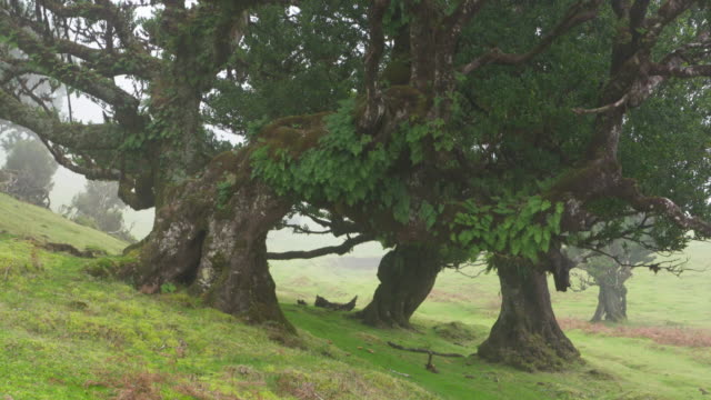 Old laurel trees in Fanal forest. Atlantic Islands, Madeira, Portugal.