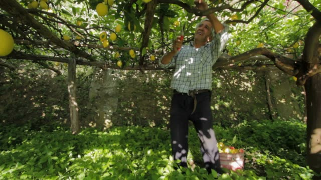 old man collect the famous lemon of the amalfitan coast - citrus fruit stock videos and b-roll footage