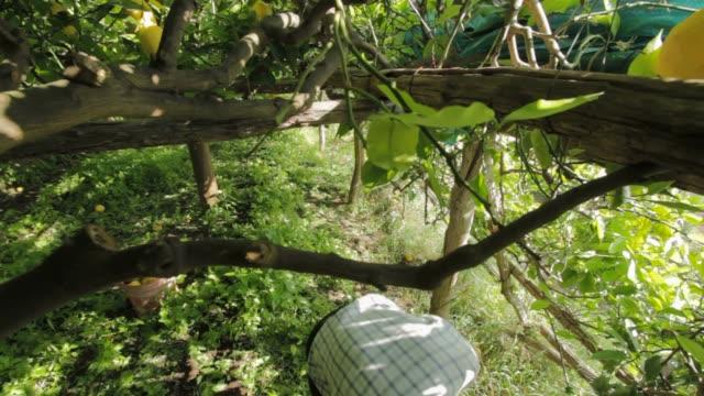 vidéos et rushes de old man collect the famous lemon of the amalfitan coast - récolter